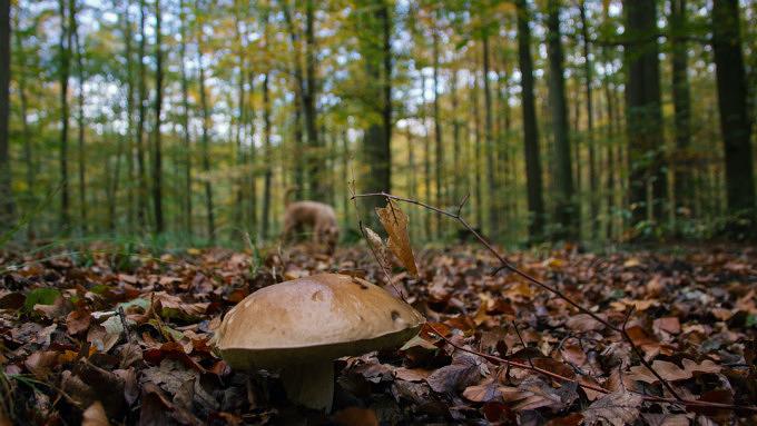 Steinpilz im Wald