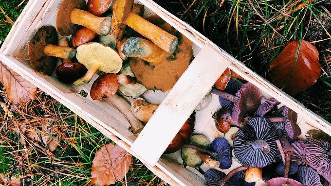 Pilze sammeln, Herbst, Berlin, Biesenthal